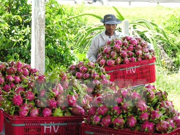 Australia valora importacion de pitahaya de Vietnam hinh anh 1