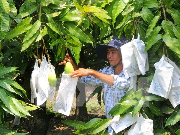 Puerta a mercado australiano abierta para mango vietnamita hinh anh 1
