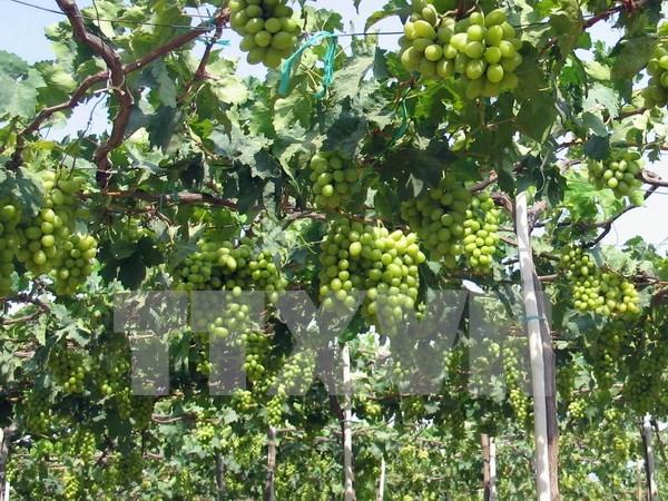 Inauguran Festival de uva, vino y gastronomia en Ninh Thuan hinh anh 1