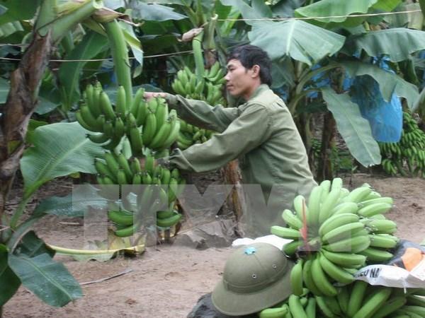 Desarrollo del cultivo de platano tabasco hinh anh 1
