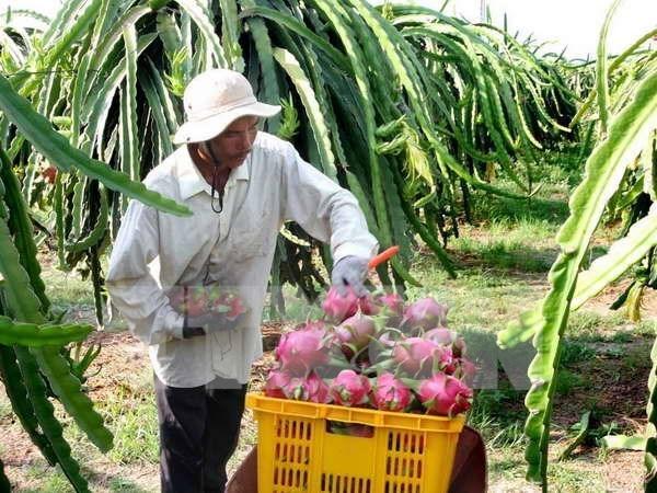 Australia autorizara la importacion de pitahaya vietnamita hinh anh 1