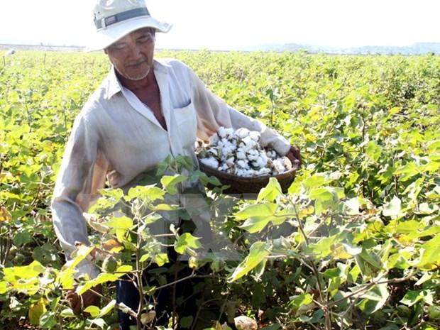 Vietnam suspende temporalmente importacion de algodon en bruto de Ghana hinh anh 1