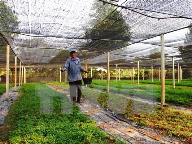 JICA apoya a agricultores vietnamitas en el cultivo de menta japonesa hinh anh 1