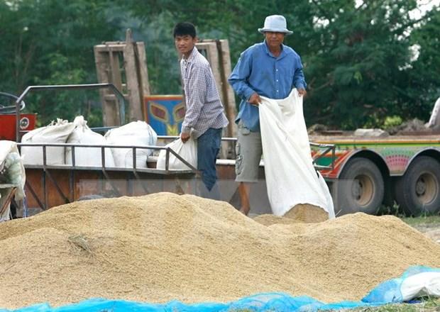 Aprueba gobierno tailandes programa de subvencion del precio de arroz hinh anh 1