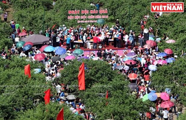 Fiesta de la cosecha de ciruelas en Moc Chau hinh anh 3