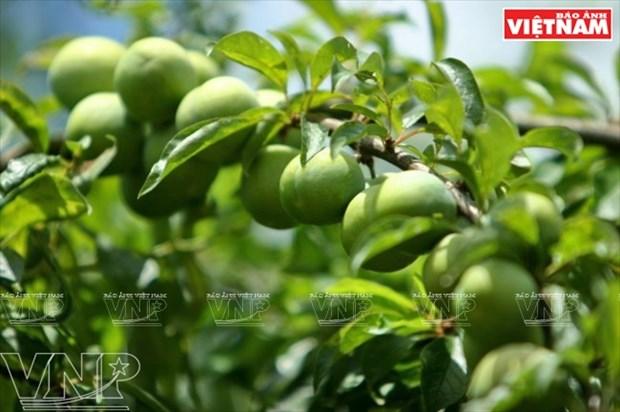 Fiesta de la cosecha de ciruelas en Moc Chau hinh anh 2