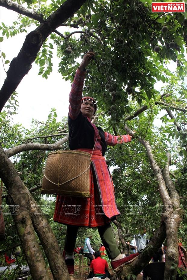 Fiesta de la cosecha de ciruelas en Moc Chau hinh anh 4
