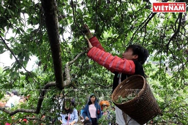Fiesta de la cosecha de ciruelas en Moc Chau hinh anh 5