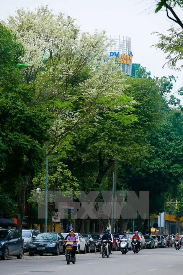 Flores de Sua blanquean el cielo de Hanoi hinh anh 2