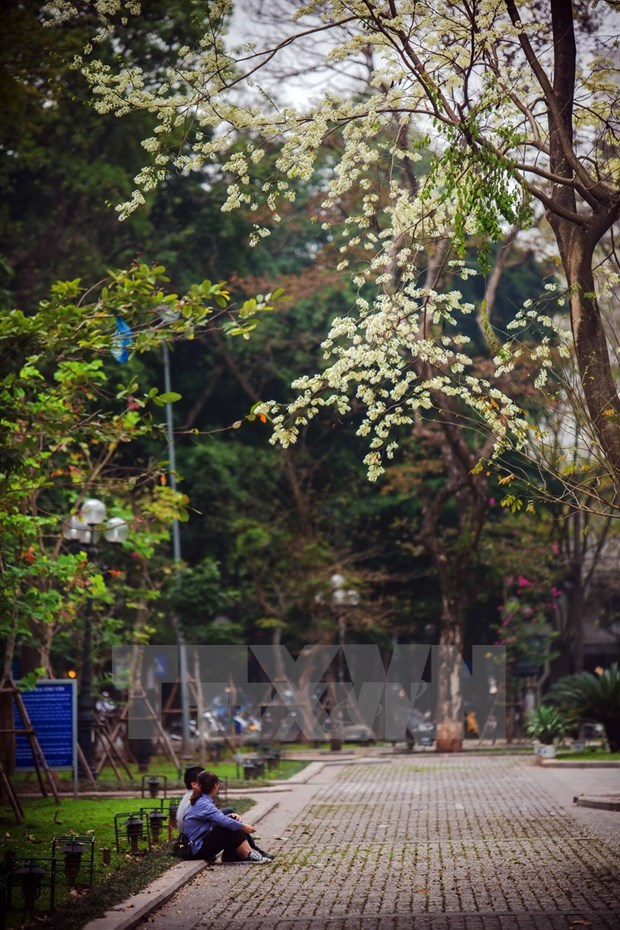 Flores de Sua blanquean el cielo de Hanoi hinh anh 5