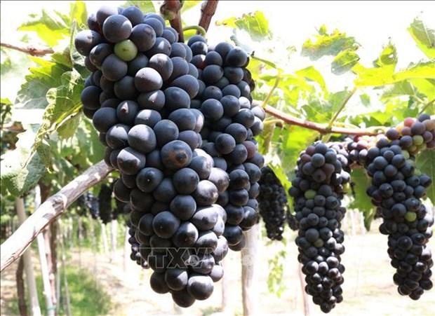 Estudia provincia vietnamita desarrollo de uvas para viticultura hinh anh 2