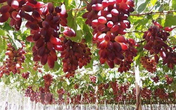 Estudia provincia vietnamita desarrollo de uvas para viticultura hinh anh 1