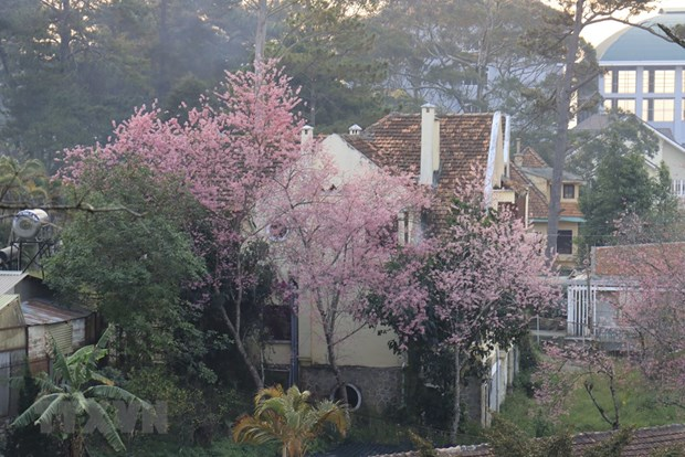 [Foto] Da Lat se tine de color de rosa por las flores de cerezo hinh anh 1