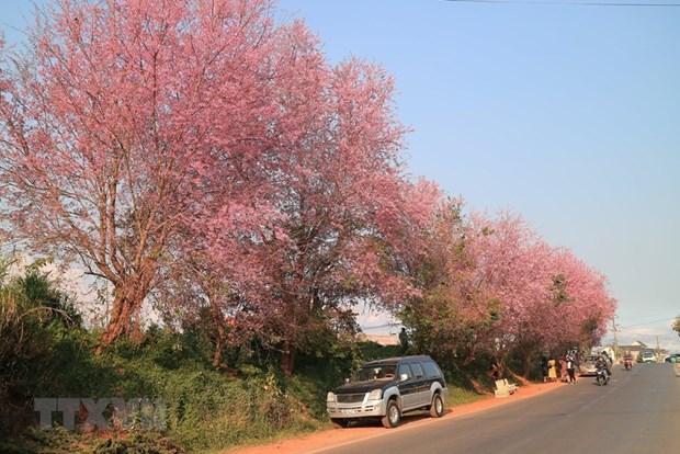 [Foto] Da Lat se tine de color de rosa por las flores de cerezo hinh anh 3