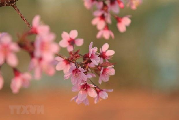 [Foto] Da Lat se tine de color de rosa por las flores de cerezo hinh anh 4