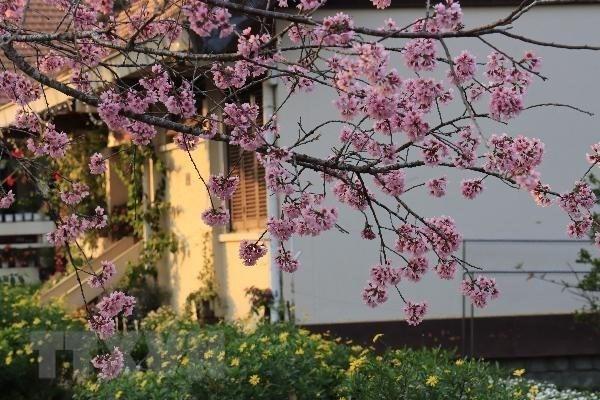 [Foto] Da Lat se tine de color de rosa por las flores de cerezo hinh anh 5