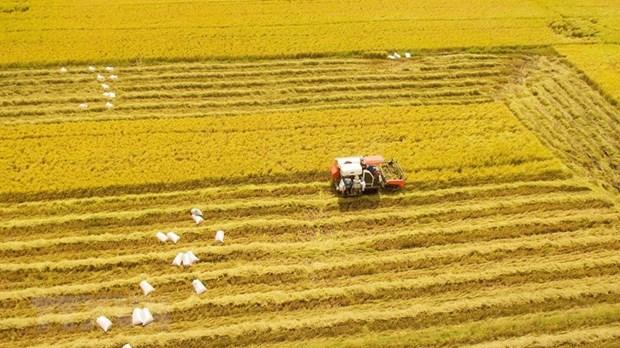 [Foto] Abundante cosecha Invierno-Primavera de 2019-2020 de arroz en Delta del Mekong hinh anh 1
