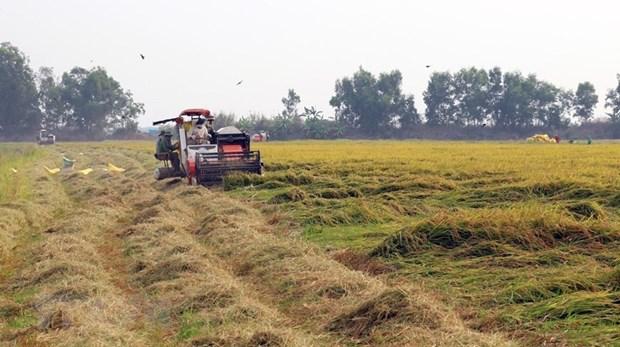[Foto] Abundante cosecha Invierno-Primavera de 2019-2020 de arroz en Delta del Mekong hinh anh 2