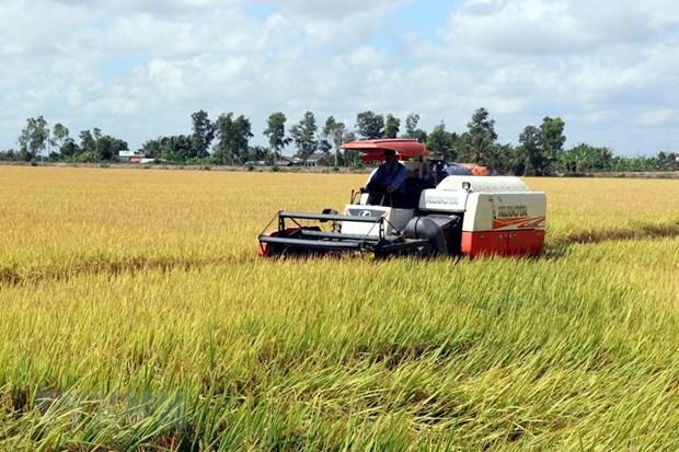 [Foto] Abundante cosecha Invierno-Primavera de 2019-2020 de arroz en Delta del Mekong hinh anh 3