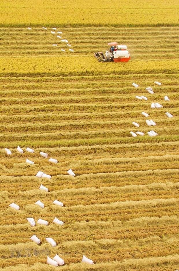 [Foto] Abundante cosecha Invierno-Primavera de 2019-2020 de arroz en Delta del Mekong hinh anh 4