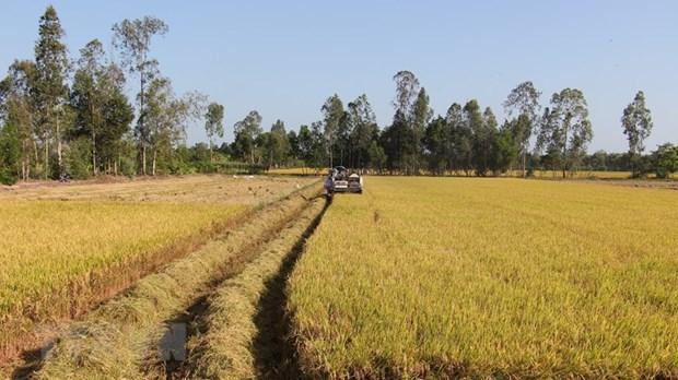 [Foto] Abundante cosecha Invierno-Primavera de 2019-2020 de arroz en Delta del Mekong hinh anh 5