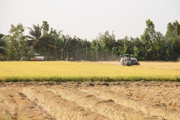 [Foto] Abundante cosecha Invierno-Primavera de 2019-2020 de arroz en Delta del Mekong hinh anh 6