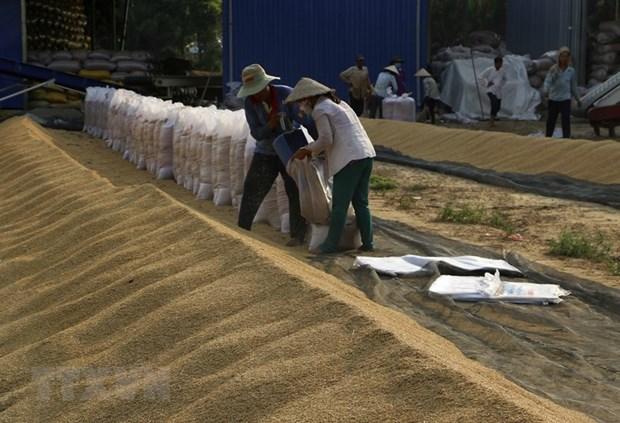 [Foto] Abundante cosecha Invierno-Primavera de 2019-2020 de arroz en Delta del Mekong hinh anh 7