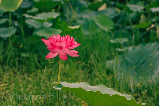 [Foto] Descubre elaboracion de te con aroma de flor de loto hinh anh 1