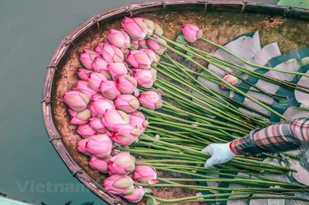 [Foto] Descubre elaboracion de te con aroma de flor de loto hinh anh 2