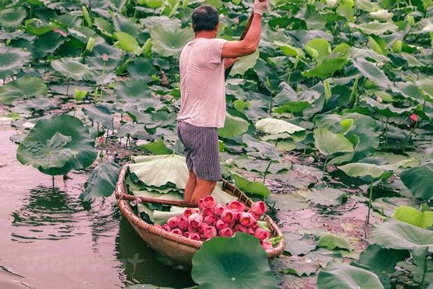 [Foto] Descubre elaboracion de te con aroma de flor de loto hinh anh 3