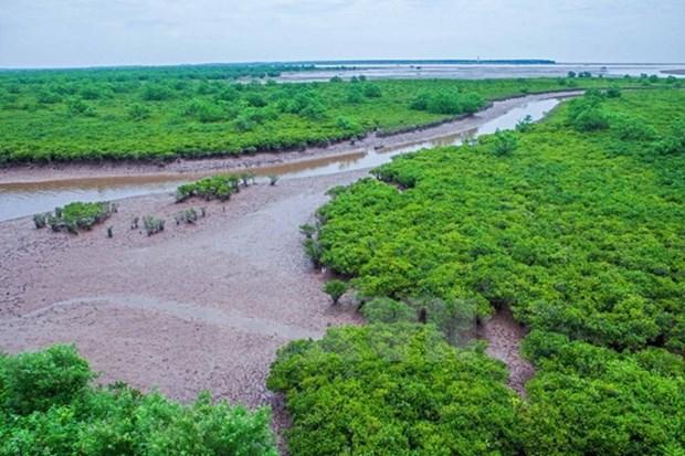 Cultivo de bosques de manglares, proteccion efectiva de diques marinos hinh anh 1
