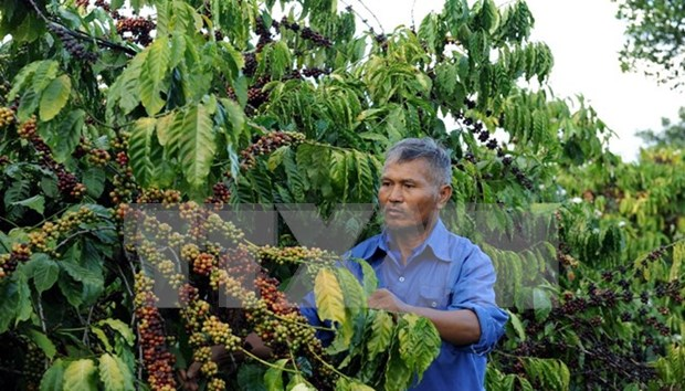 Sector cafetero de Vietnam apunta seis mil millones USD de exportacion en 2030 hinh anh 1