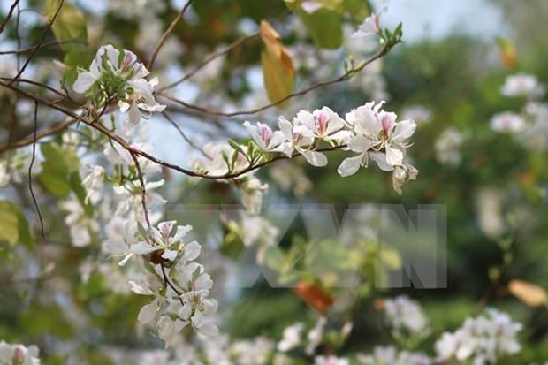 Celebraran en Vietnam festival de Flor de Bauhinia blanca en marzo de 2017 hinh anh 1