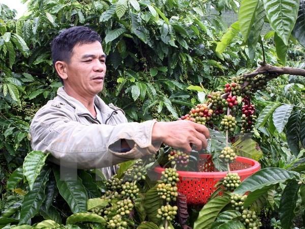 Dak Lak se esfuerza por aumentar exportaciones de cafe procesado hinh anh 1