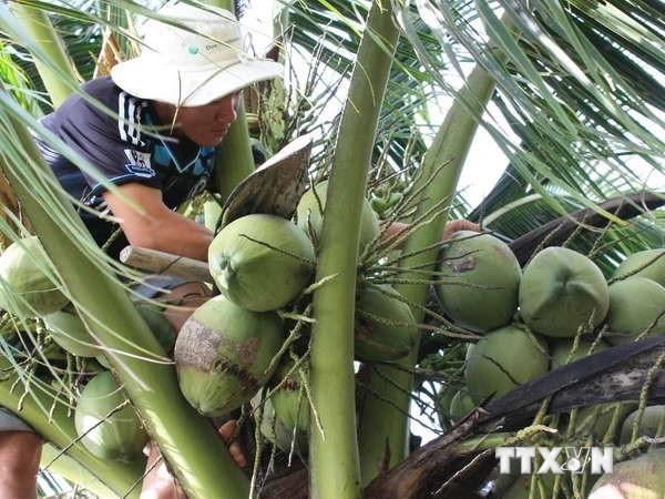Estudian en Italia experiencias para aumentar valor del coco vietnamita hinh anh 1