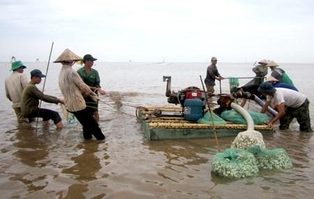 Vietnam desarrolla cria sostenible de almeja hinh anh 1