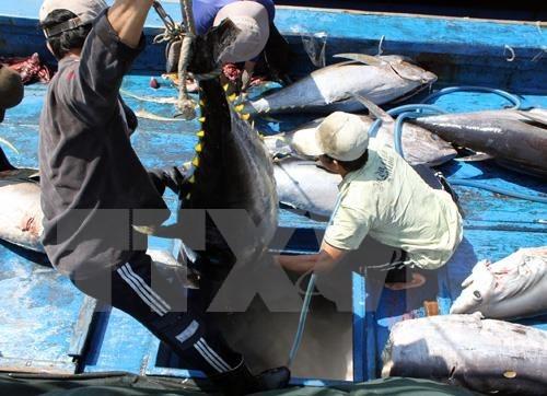 Aumenta exportacion de atun vietnamita a Estados Unidos hinh anh 1