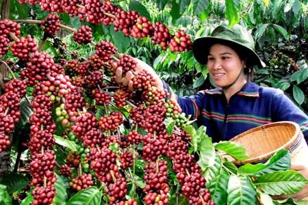 Vietnam exporto 1,79 millones de toneladas de cafe en 2016 hinh anh 1