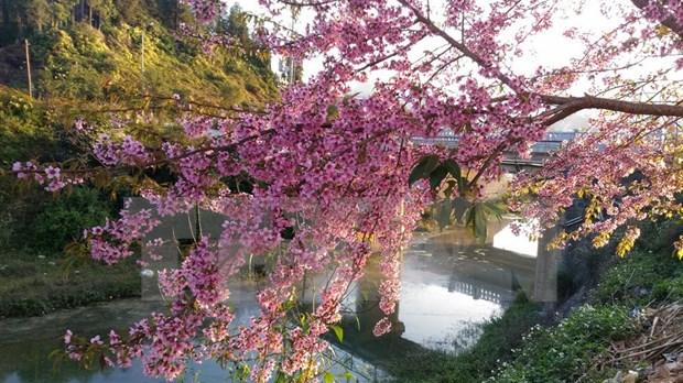 Da Lat celebrara primer festival de flor de cerezo hinh anh 1