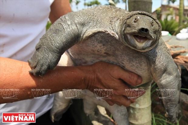 Crianza de tortuga de caparazon blando carunculada en Khai Thai hinh anh 1