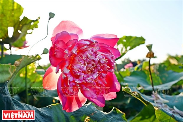 Los doce extranos lotos de la laguna de Ninh So hinh anh 1