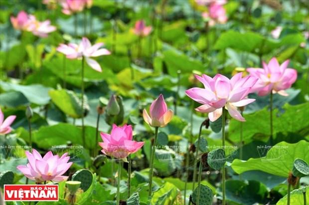 Flor de loto en el campo gastronomico hinh anh 1