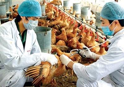 Reportan brote de gripe aviar H5N1 en Camboya hinh anh 1