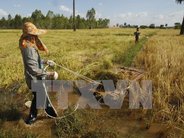 Asistencia internacional a favor del desarrollo agricola de Camboya hinh anh 1