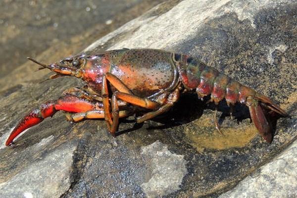 Vietnam veda cria de cangrejos rojos hinh anh 1