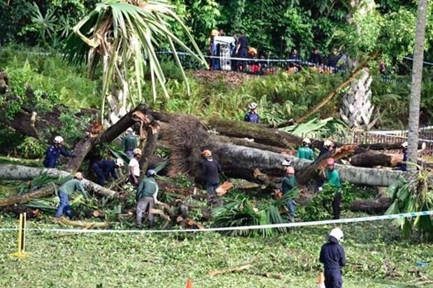 Un muerto y cuatro heridos tras caida de arbol gigante en Singapur hinh anh 1