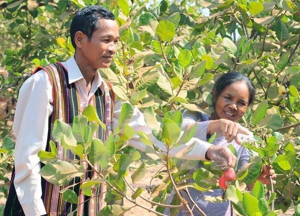 Disminuye cultivo de anacardo en las provincias altiplanicas de Vietnam hinh anh 1