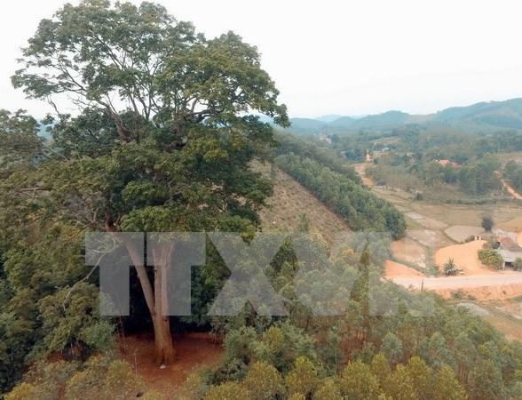 Reconocen a arbol patrimonial milenario en provincia norvietnamita hinh anh 1