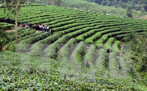 Decenas de miles de agricultores participaran en cultivo sostenible de te hinh anh 1