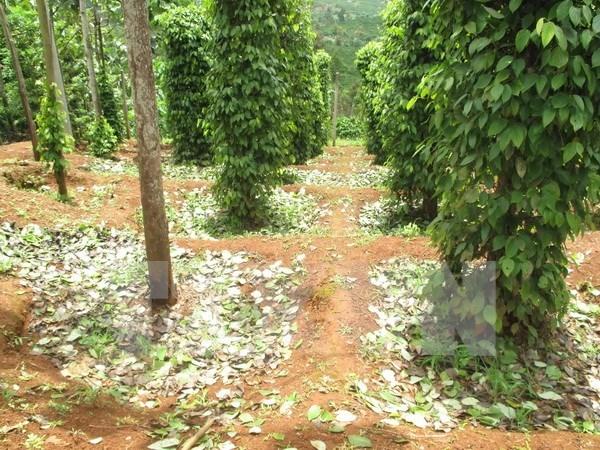 Vietnam exporta 16 mil toneladas de pimienta en dos meses hinh anh 1